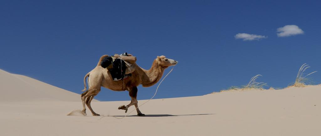 A camel like this one is used in camel races