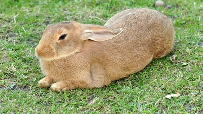 How military history's greatest general was defeated by rabbits