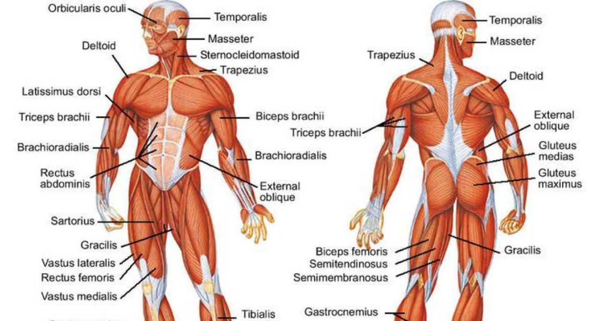 This is the science behind how muscle is built