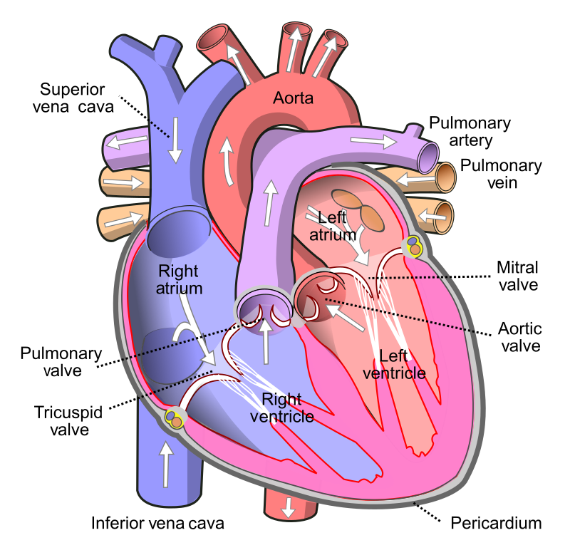 Here's why the heart doesn't need to rest like other muscles